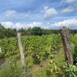 Winobranie w Lubuskim - wycieczka do Polskiej Toskanii