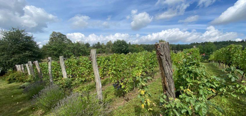Winobranie w Lubuskim – Święto Wina w Polskiej Toskanii!