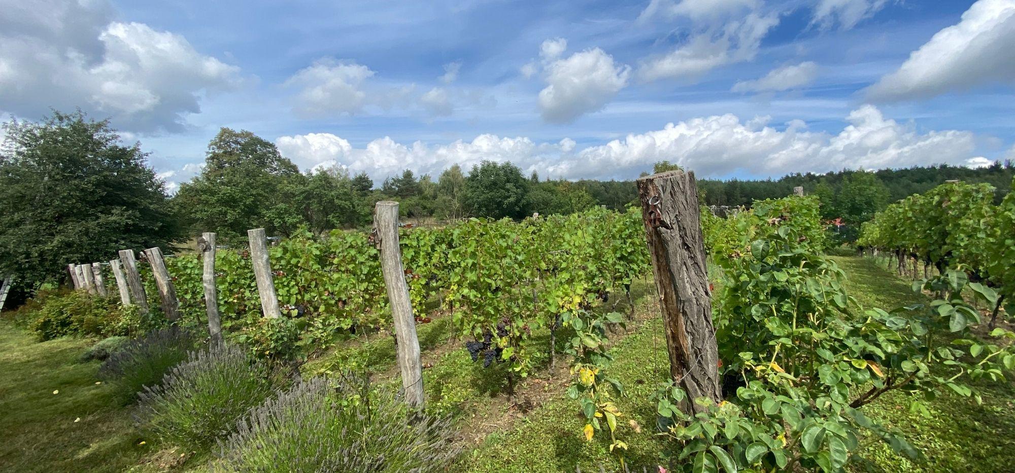 Winobranie w Lubuskim. Święto Wina w Polskiej Toskanii